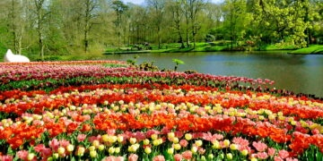 Flowers at Keukenhof park