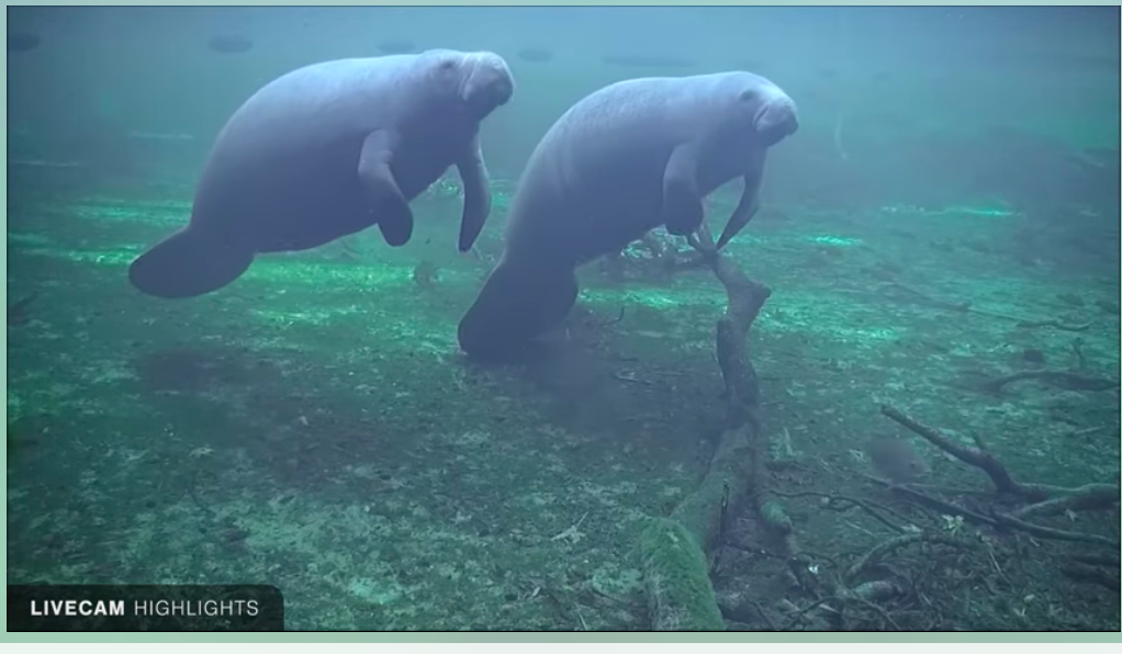 The manatees at the Blue Spring State Park are the definition of chilled.