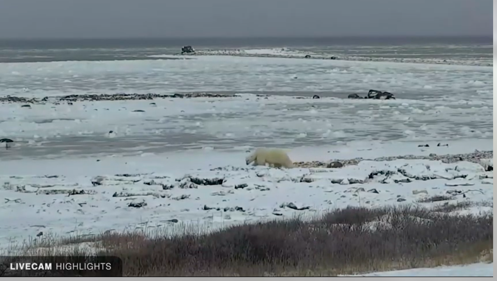 Polar bears at Wapusk National Park