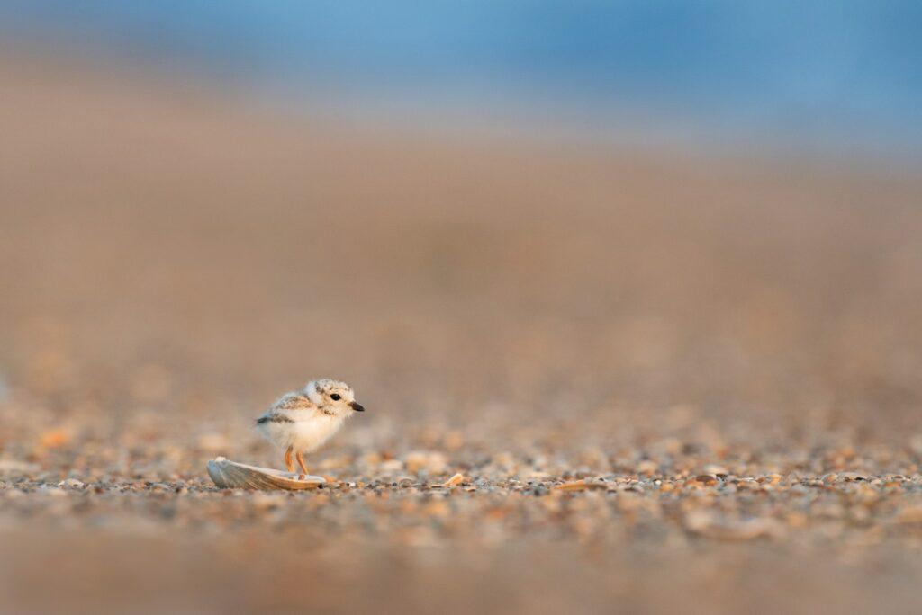 A baby bird walking on the beach at Sandy Hook
