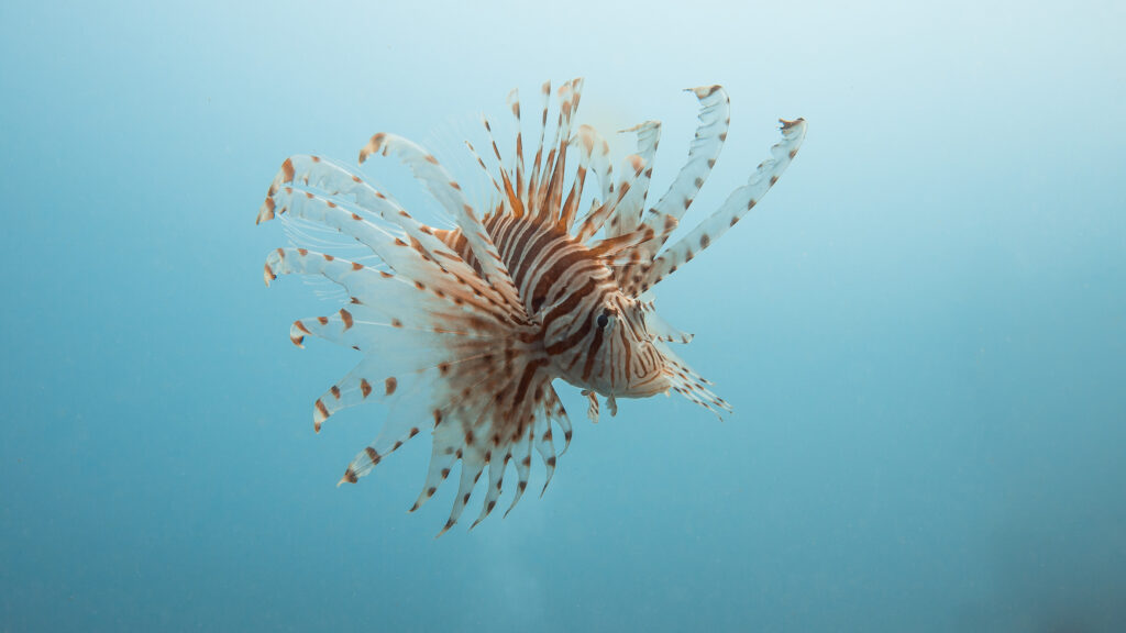 A lion fish – the most responsible of all fish.