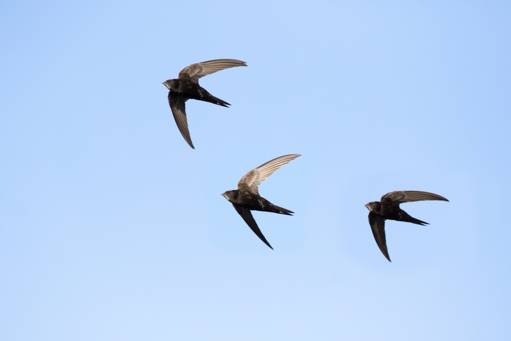 Three common swifts flying.
