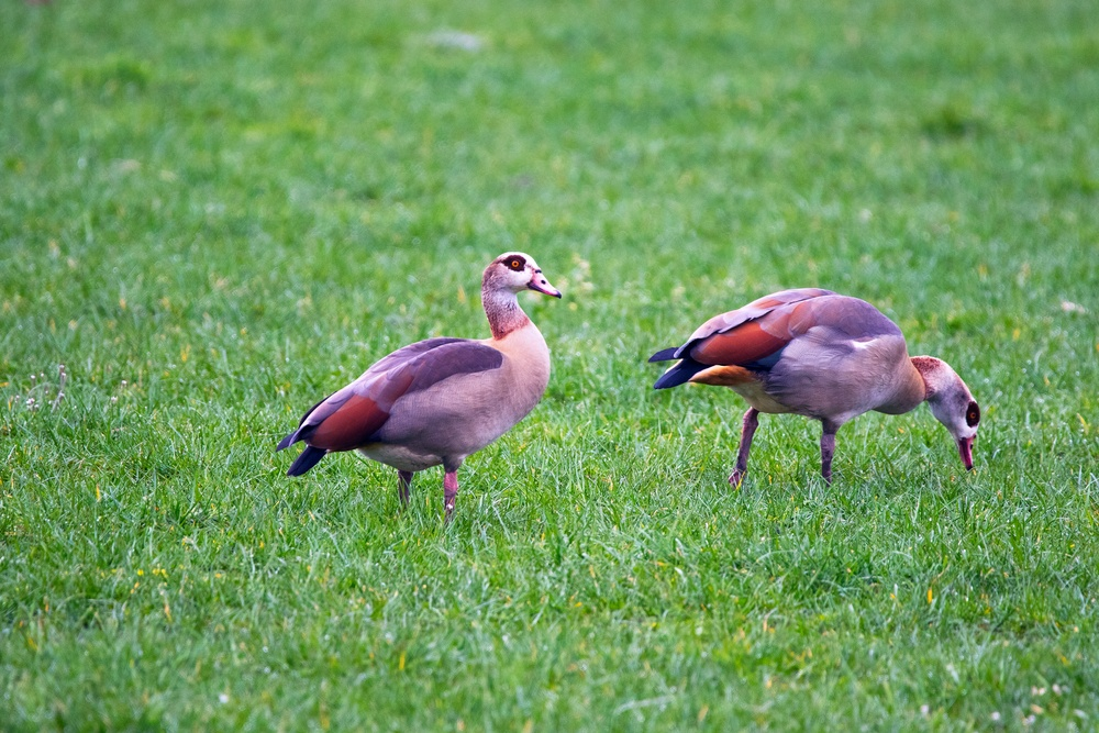 Two Egyptian geese, birds which were imported into Amsterdam in the 20th century.