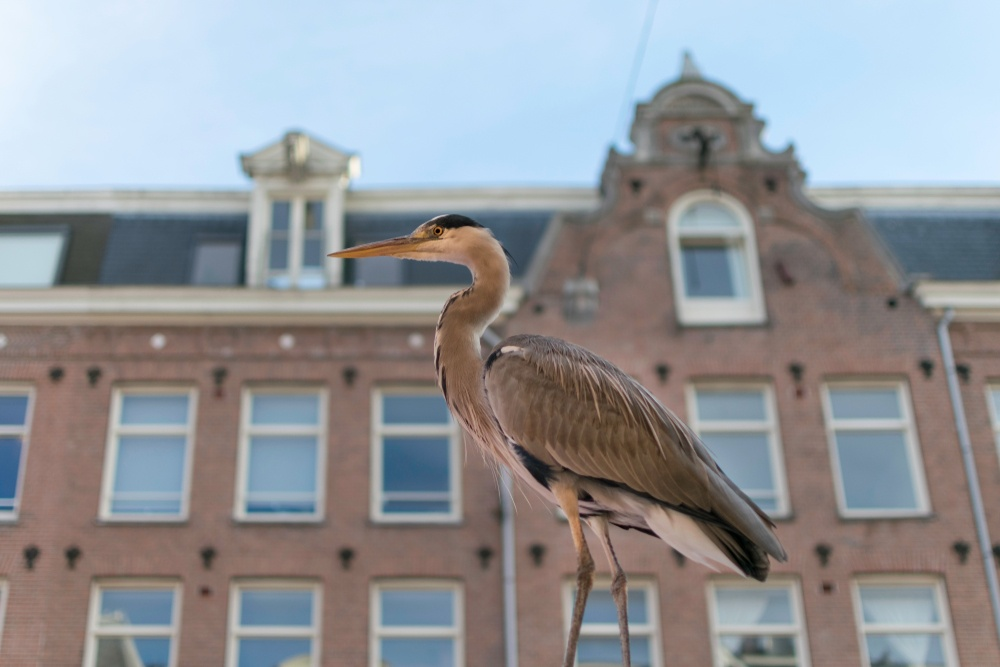 A heron standing in front of an Amsterdam house.
