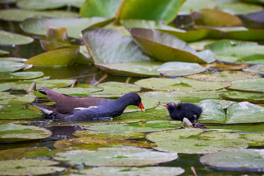 A common moorhen and its baby.