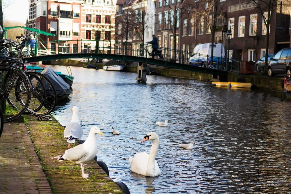 A picture of birds in Amsterdam, swimming along the canals.
