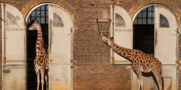 The giraffe enclosure at London Zoo