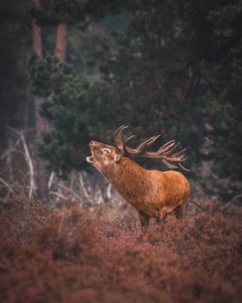 Image of buck making grunting sound in an autumnal background