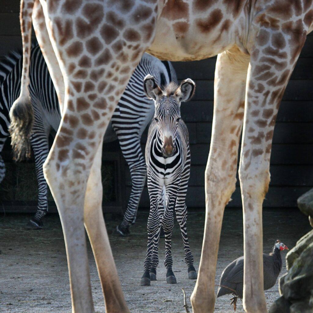Little zebra standing between the legs of a giraffe