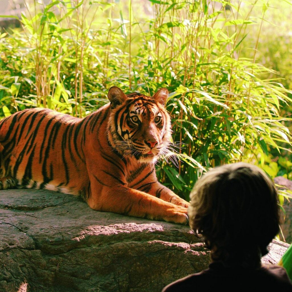 Tiger looking in the eyes of little boy behind the glass