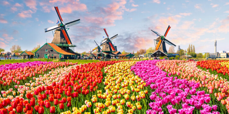 Colourful tulip field and windmills in background. End of day