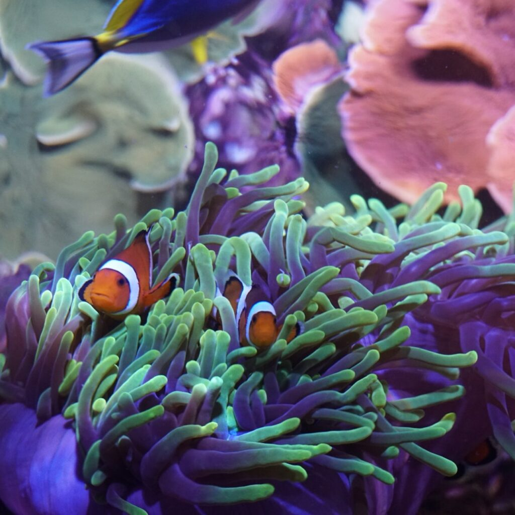 Is this clownfish a friend, or anemone?