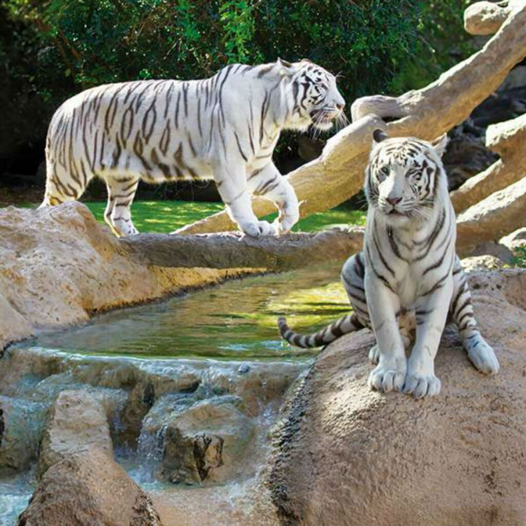 A pair of white tigers at Loro Parque.