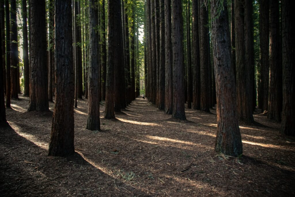 Redwood trees and Redwood National Park