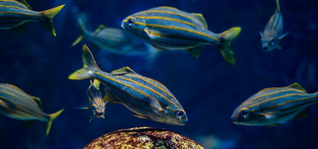 Blue and yellow striped fish at New England Aquarium