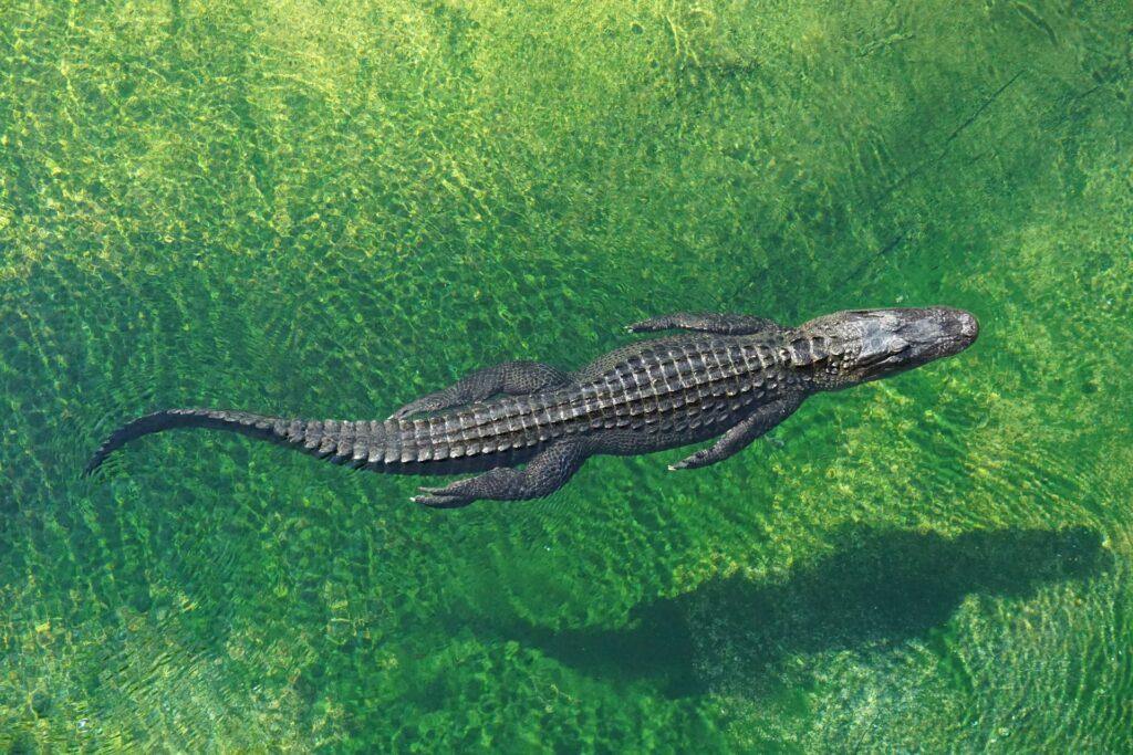 A crocodile at Zoo Miami