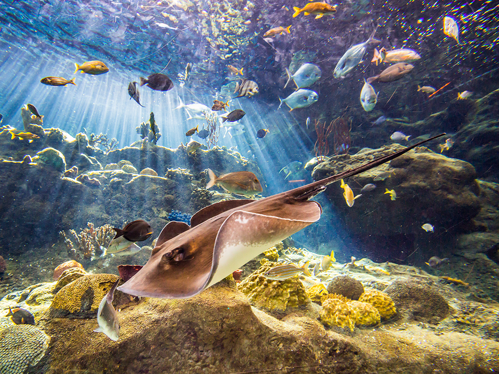 A ray swimming at Florida Aquarium