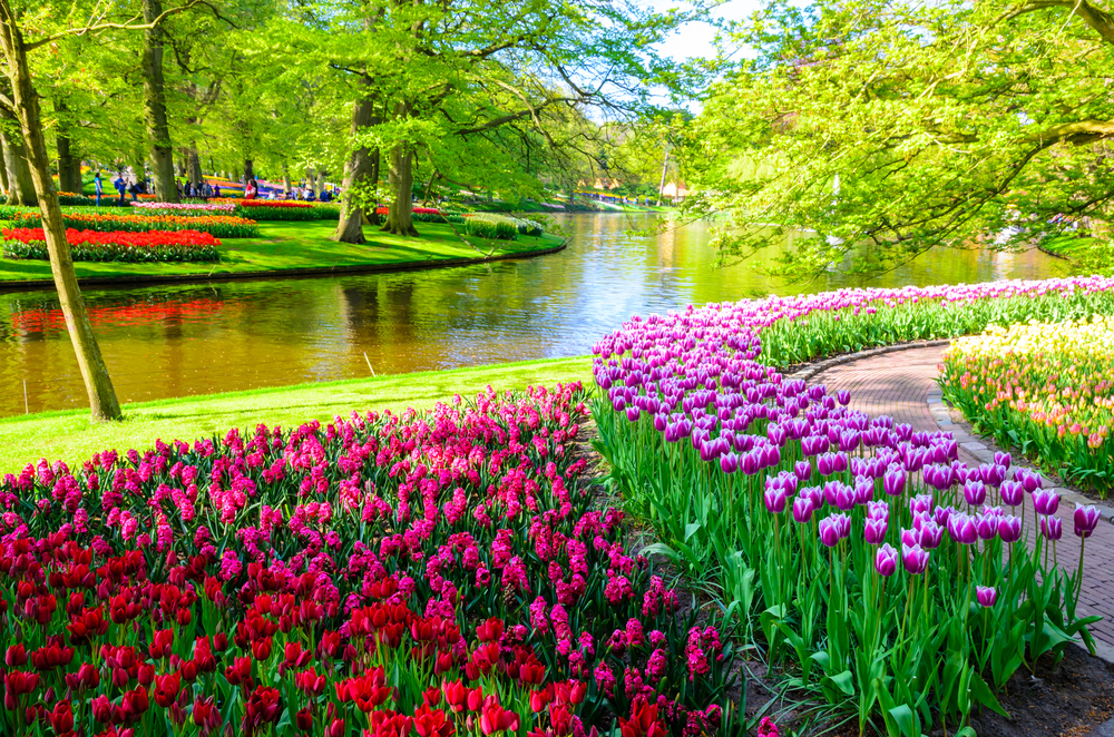 beautiful field of colorful tulips, next to a little waterway surrounded by trees.