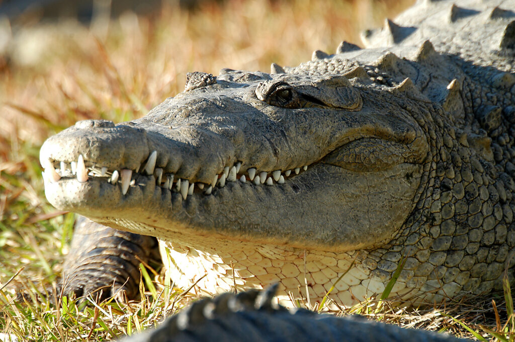 An alligator at Gatorland, a great outdoor activity in Orlando.