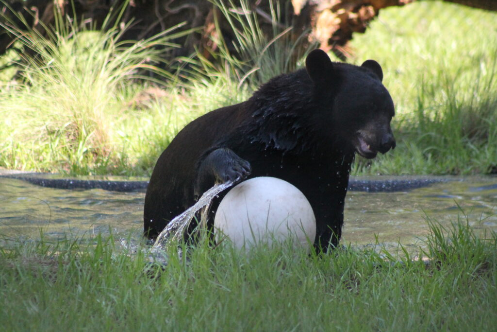 A bear playing with a ball in a zoo in Orlando