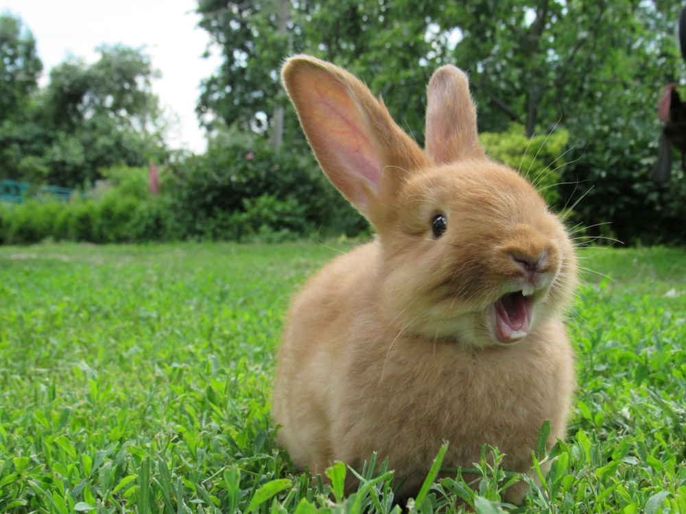 A picture of a cute rabbit smiling.