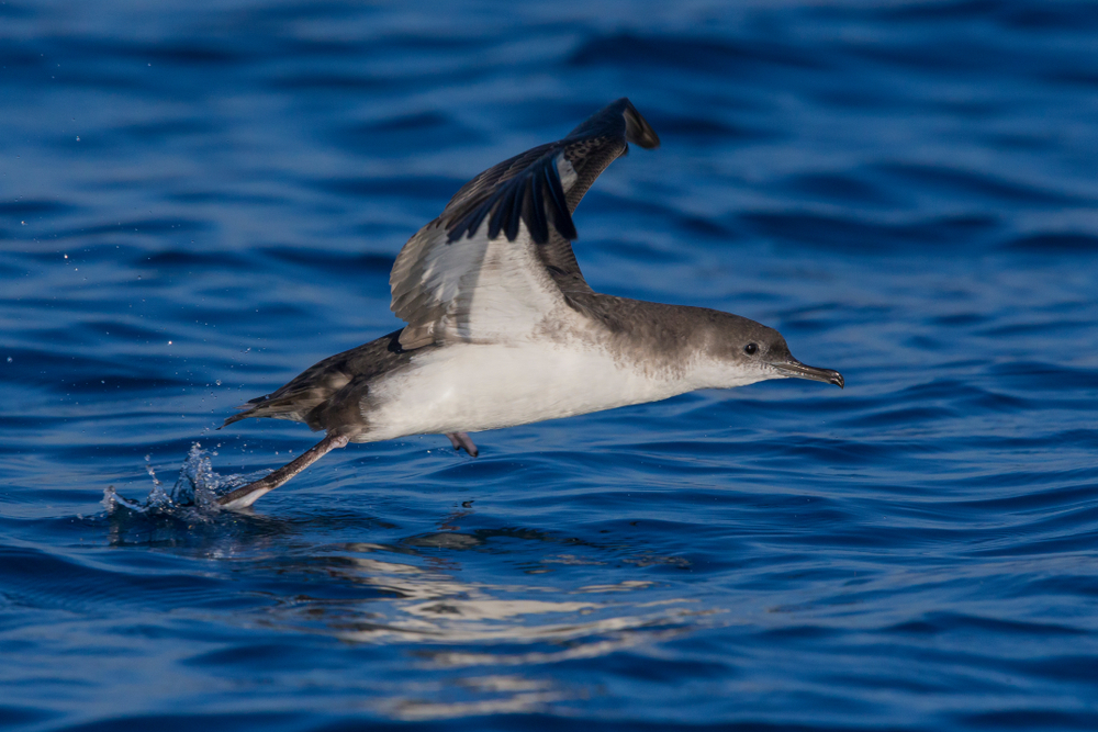 A picture of a yelkouan shearwater, a bird that's known to live around the Blue Lagoon area.