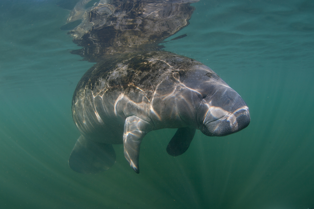 A manatee resting in Tampa