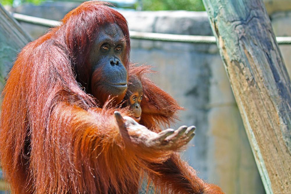 An orangutan at Zoo Tampa