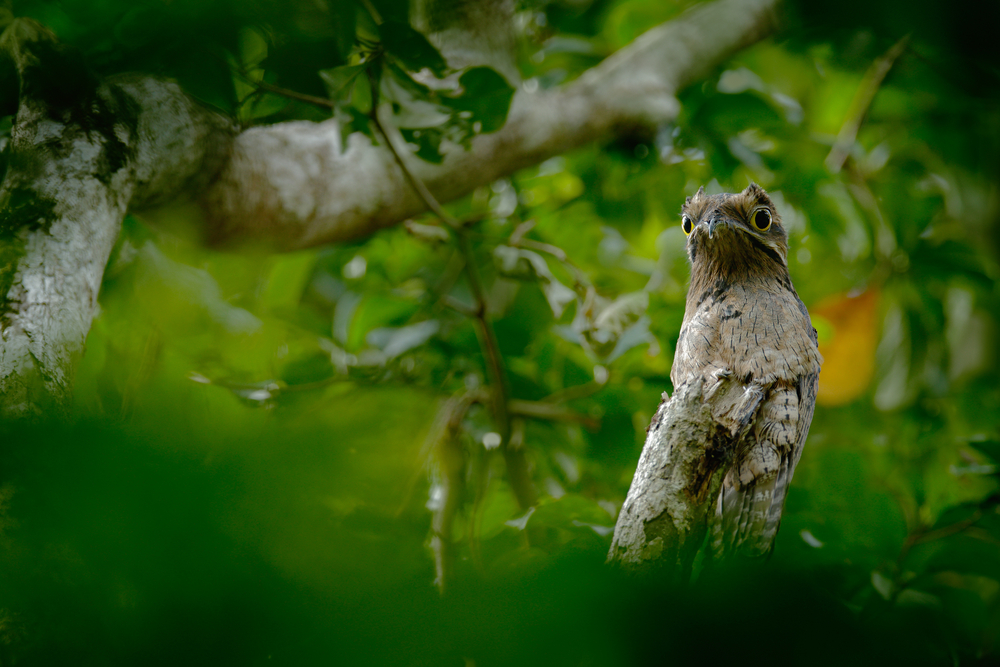A potoo bird, a strange little bird with a humorous face and bulging eyes. It's brown and blends in seamlessly with the branch it's perched on.