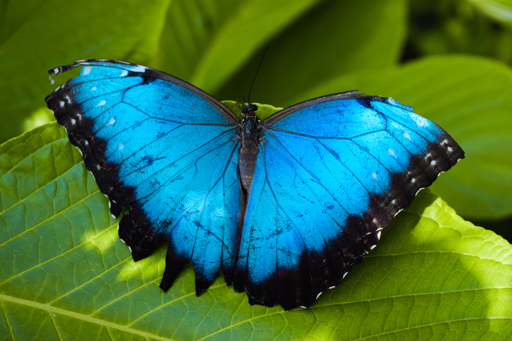 A blue morpho butterfly as found in Colombia, perching on a leaf.